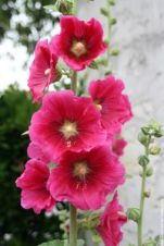 rose-tremiere-20080707