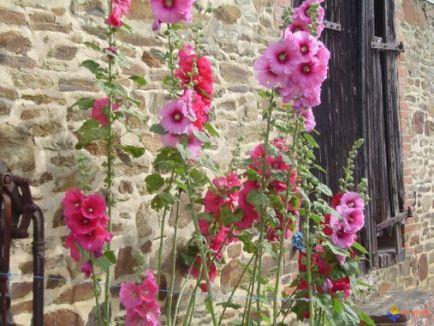 roses-tremieres-visoflora-22220